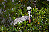 Portrait of a Pelican in a mangrove tree. Wildlife and animal photography prints for sale. Fine art photography wall art, stock images.