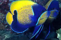 Pomacanthus navarchus; blue girdled angelfish
