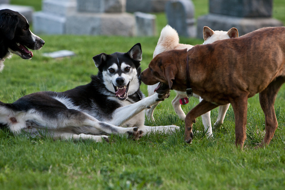 The faces of dogs at play in the Congressional Cemetery are extremely expressive.