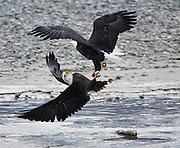 An American Bald Eagle defends his fish from another Eagle.