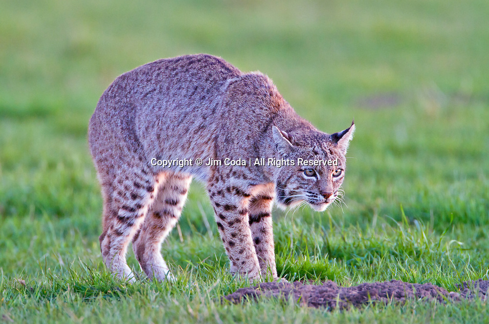 A bobcat waits for a gopher to surface in Point Reyes National Seashore.