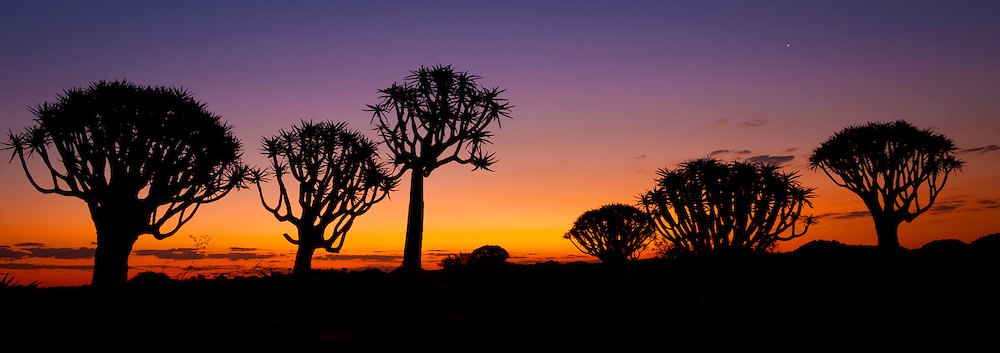 Quiver trees (Aloe dichotoma), or Kokerboom in Afrikaans, silhoetted against an African dusk near Keetmanshoop in the Karas Region of Southern Namibia. This tree aloe survives in a small area of the southern Namibia desert, where summer temperatures exceed 45° C (113°F).
