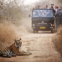 A 2.5 year old female tiger known as T19 and tourists at Rantambore National Park. T19 was one of the four candidates for relocation to Sariska National Park. The relocation was eventually aborted because none of the candidates could be located. ..Sariska National Park in Rajasthan was once home to dozens of tigers but by 2005 poaching had resulted in their complete eradication. Recognising the urgent need for intervention, the Indian and Rajasthan-state governments began the reintroduction of tigers into Sariska. Two cats were airlifted 200 km from Ranthambore National Park in June 2008. On November 5th an attempt to relocate a third tiger was postponed until later in the month. This relocation strategy is certainly an important part of the tiger conservation effort but many, including those like Dharmendra Khandal of the NGO Tiger Watch, argue that it will never be entirely successful without properly confronting the three essential issues that threaten tiger populations: poaching, habitat loss and the hunting of prey-base animals. In turn, these three issues cannot be addressed without acknowledging the malign influence of caste, poverty and poor administrative accountability. Poaching is almost exclusively undertaken by extremely poor and marginalised groups, including the Mogia caste who, without education, land and access to credit have limited alternative means of income. Many in the Mogia community also hunt bush meat for both their own consumption and to sell to others. This results in a depletion of the prey-base upon which tigers feed. Encroachment and grazing by those including the Gujar people who raise dairy herds, have led to habitat loss in Sariska and other parks. To properly tackle the problem of hunting and encroachment, the government must provide alternative livelihoods for marginalised groups and relocate them to viable land before - rather than after - the re-introduction of tigers. Compounding all these issues is the ridged hierarchy of India