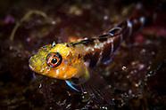 Forsterygion malcolmi (Banded triplefin)