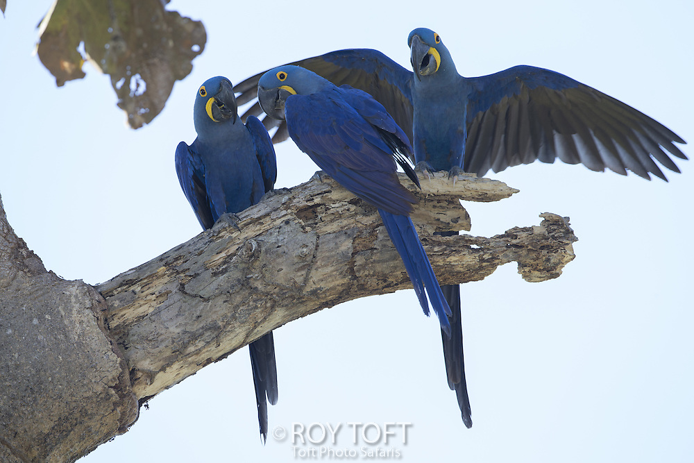 Hyacinth Macaw (Anodorhynchus hyacinthinus), Pantanal, Brazil