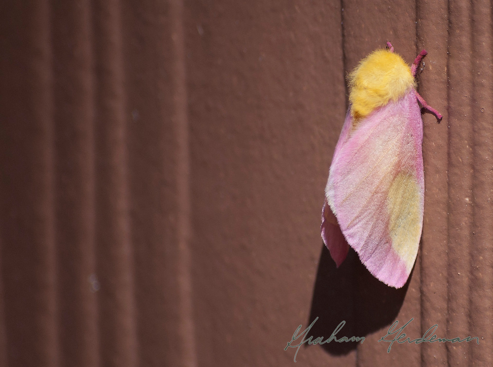 pink and yellow moth