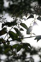 Sunlight through Deutzia Scabra, Hydrangeaceae