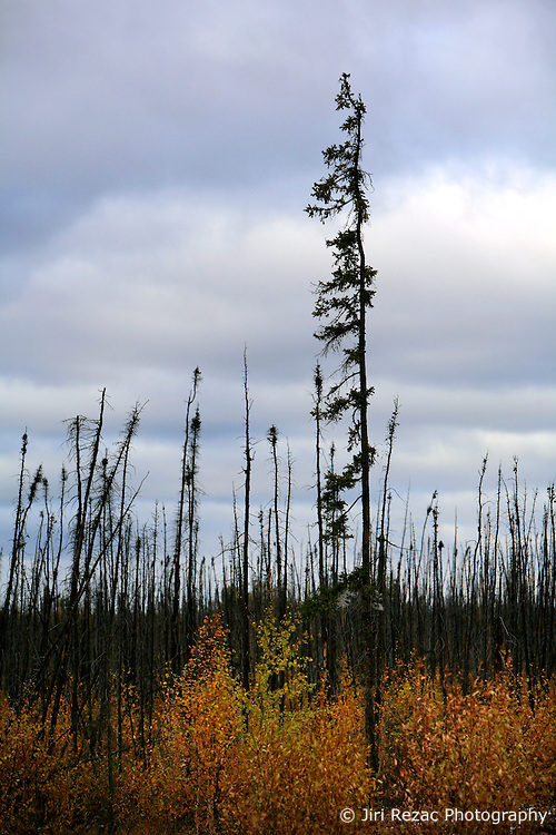 CANADA ALBERTA SLAVE LAKE 10OCT09 - Trees remain standing after a wildfire in the Boreal forest near Slave Lake in northern Alberta, Canada...Significant deposits of Bitumen, also known as tarsands have been found in the area around Peace River and Slave Lake, thus threatening the continued existence of flora and fauna of the Boreal through oil and gas developments...The Canadian boreal region represents a tract of land over 1,000 kilometres wide separating the tundra in the north and temperate rain forest and deciduous woodlands that predominate in the most southerly and westerly parts of Canada. ..The boreal region contains about 14% of Canada's population. With its sheer vastness and integrity, the boreal makes an important contribution to the rural and aboriginal economies of Canada, primarily through resource industries, recreation, hunting, fishing and eco-tourism...Photo by Jiri Rezac / GREENPEACE