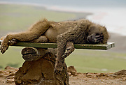 Taking a nap!  An Olive Baboon resting on Baboon Cliff, Lake Nakuru, Kenya.