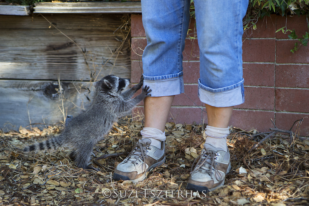Raccoon <br /> Procyon lotor<br /> Eight-week-old orphaned baby jumping on leg of volunteer, JoLynn Taylor, while exploring yard of foster home <br /> WildCare, San Rafael, CA