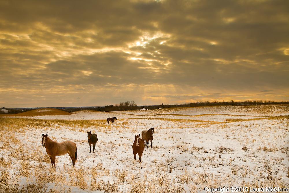 Horses in Gold Field, Alberta Canada