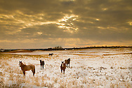 Horses in Gold Field, Alberta Canada