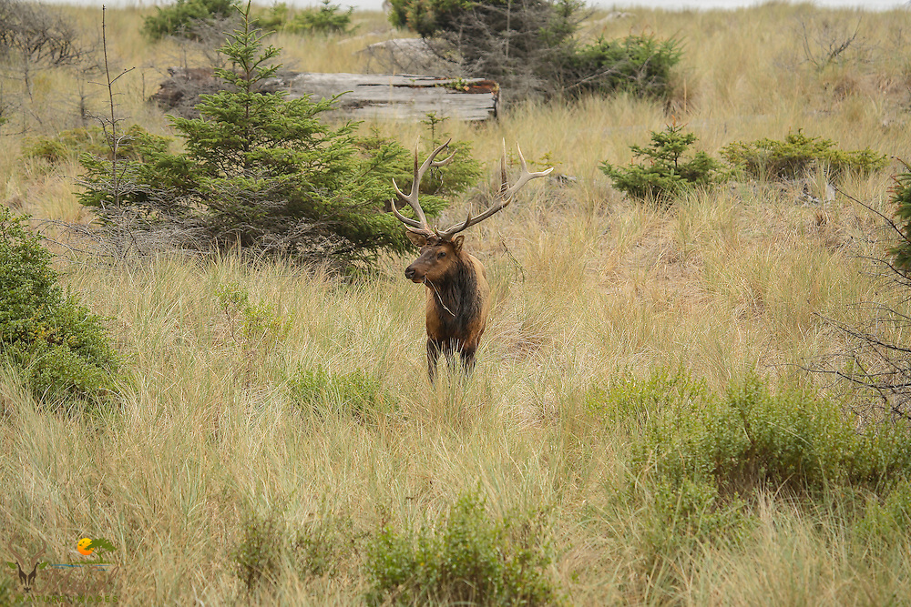 Bull Elk with grass in mouth.