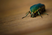 Green June Beetle, a top insect pest of Georgia!