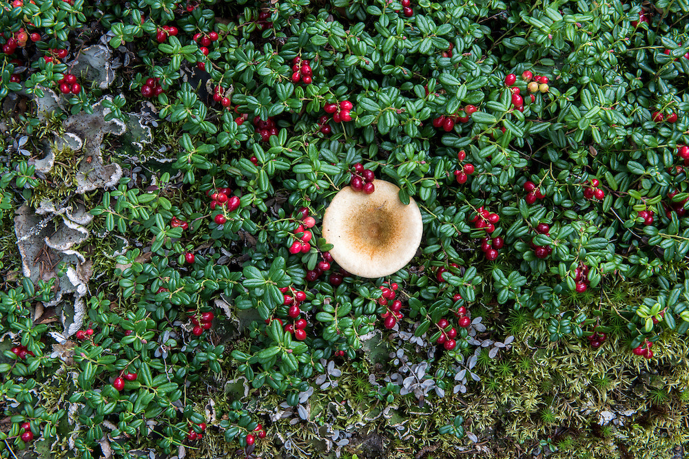 One small brown mushroom (unknown species), and a low-bush cranberry (Vaccinium vitas-idaea) with red fruit (also called mountain cranberry and lingonberry), and lichen and moss in the background, summer, Denali National Park, Alaska, USA