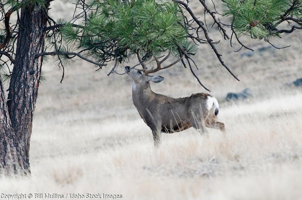 Mule deer buck (Odocoileus hemionus) in rut rubbing antlers on Ponderosa pine tree on Wildhorse Island MT