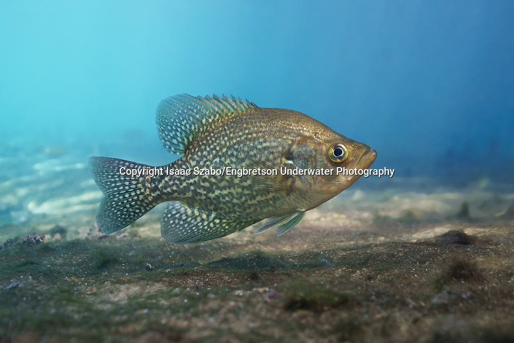 Black Crappie<br /> <br /> Isaac Szabo/Engbretson Underwater Photography