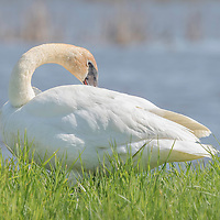 Trumpeter swan (Cygnus buccinator) preens beside pond in marsh environment. Photographed at Ottawa NWR.