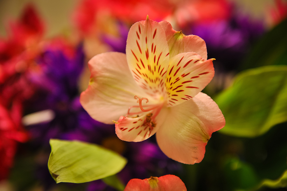 A colorful picture of a Peruvian Lily of South American origin also known as alstroemeria. The flower is a member of the Amaryllidaceae family and is related to the onion, daffodil, agapanthus and nerine. Brought to Europe in the 18th century to be named by the renowned botanist Carl Linnaeus, alstroemerias are now grown internationally.<br />