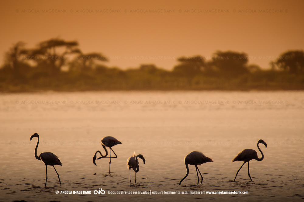 Siluetas de Flamingos ao pôr do sol nas Salinas do Mussulo. Província de Luanda. Angola