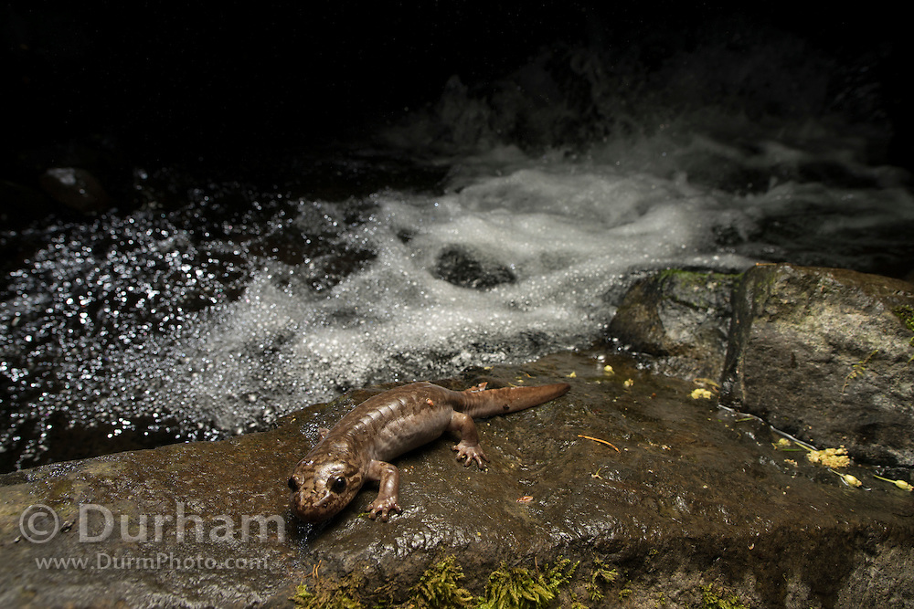 Pacific giant salamander (Dicamptodon tenebrosus) streamside at night in the Columbia River Gorge, Oregon.