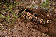A Gila Monster (Heloderma suspectum) burrows in to the ground just prior to a monsoon downpour in the grasslands in the foorhills of the Santa Rita Mountains, north of Sonoita, Arizona, USA.