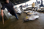 A fisheries staffer pulls a blue marlin across the floor of the fish market at Shiogama City, Miyagi Prefecture, Japan on 28 May, 2011..Photographer: Robert Gilhooly