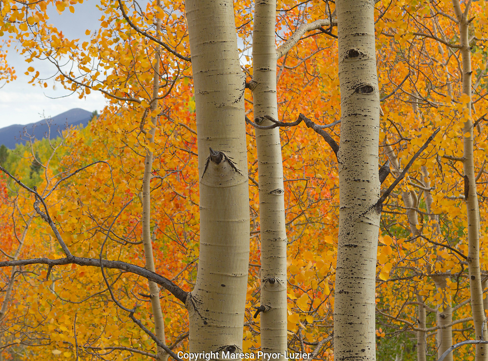 Quaking aspen in full color, Populus tremuloides, New Mexico Rocky mountains