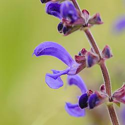 Lamiaceae of Labiatae, Lipbloemenfamilie