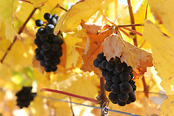 Brilliant fall color surrounds these late harvest Holman Ranch grapes seen on October 10th.