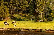 Horses, Paint Mare and Foal, graze, Monture Creek, west of Ovando, Montana