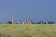 This herd of giraffes is watching a lion feigning disinterest outside of the camera's angle of view.