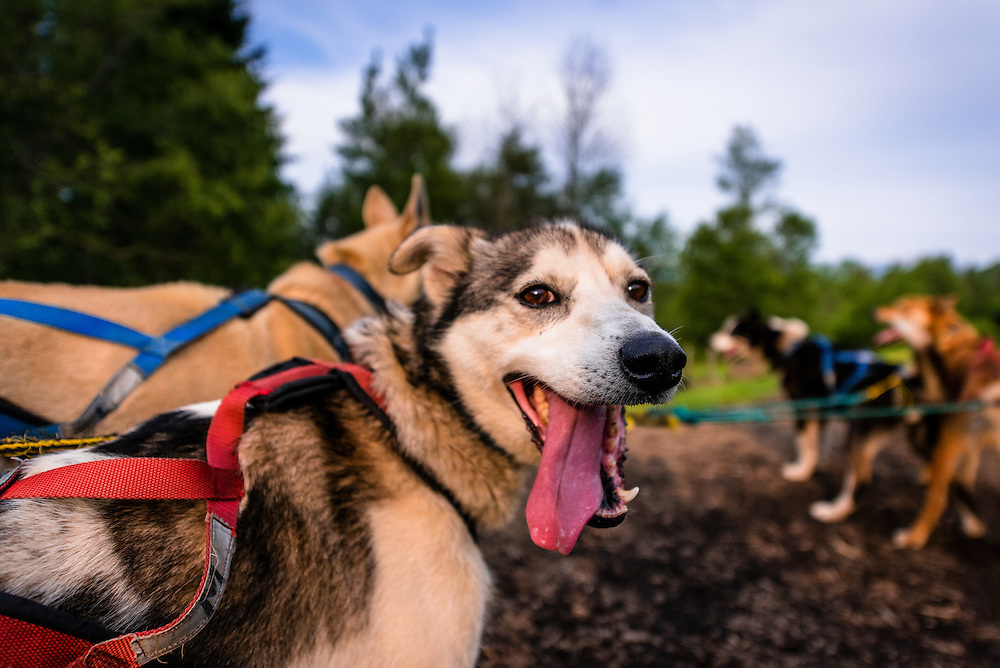 Portrait of dog sledding dogs in the White Mountains, NH
