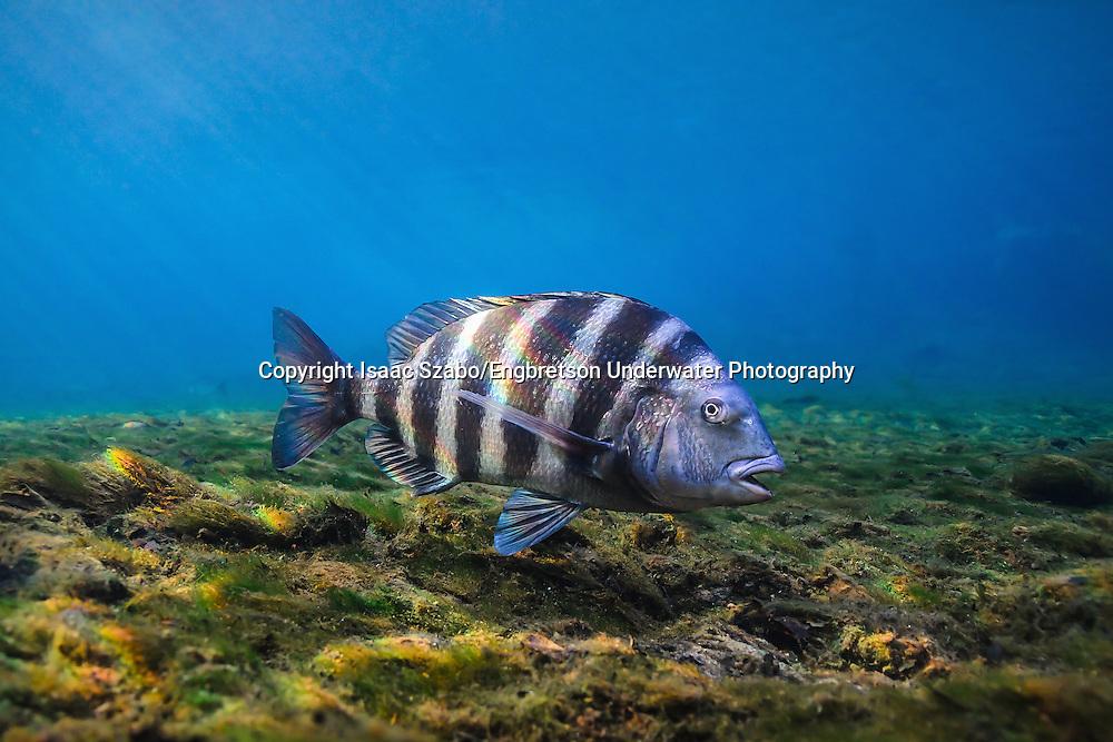 Sheepshead<br /> <br /> Isaac Szabo/Engbretson Underwater Photography