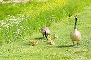 Nederland, Den Bosch, 20160509.<br /> Eenden bij Schaapsveldje in Den Bosch. <br /> Twee eenden begeleiden hun jonge kroost op het gras. jonkies, eendjes.<br /> De eenden zijn geringd om de hals ten bate van wetenschappelijk onderzoek