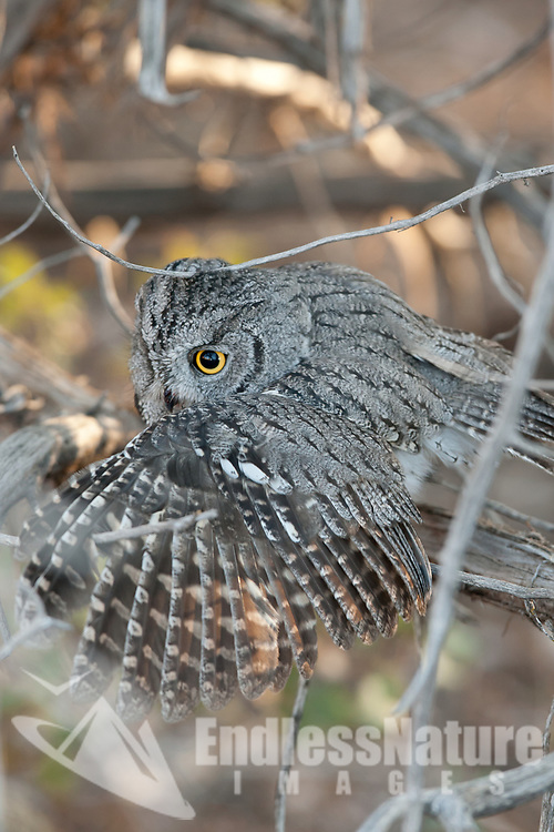 A Western Screech owl stretches its wing early in the morning after a long night searching for insects and mice.