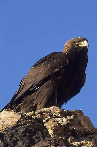 Golden Eagle, (Aquila chrysaetos) Adult. Utah.   Captive Animal.