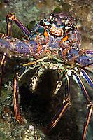 Caribbean Spiny Lobster...Shot in British Virgin Islands