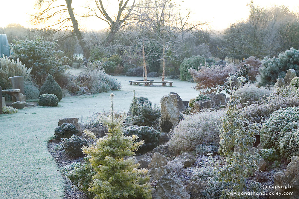 Looking over the rock garden in John Massey's garden on a frosty winter's morning. Abies concolor 'Wintergold' in the foreground