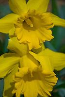 Switzerland. Springtime. Close-up of opened daffodils.