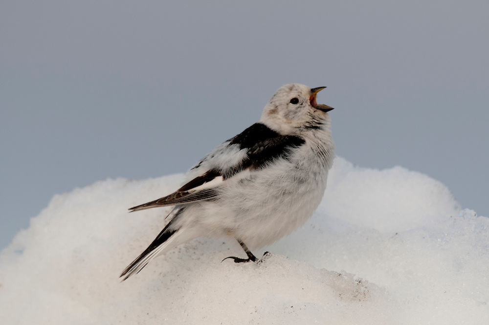 Snow bunting (Plectrophenax nivalis nivalis) singing on a snowbank near Barrow Alaska