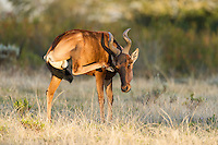 Red Hartebeest scratching, Gondwana Game Reserve, Western Province, South Africa