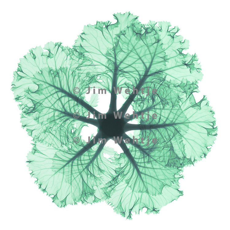 X-ray image of a kale leaf ring (green on white) by Jim Wehtje, specialist in x-ray art and design images.