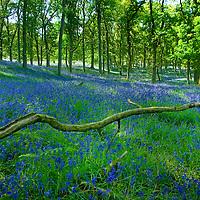 Spring Scottish Bluebells in woodlands Perthshire, Scotland
