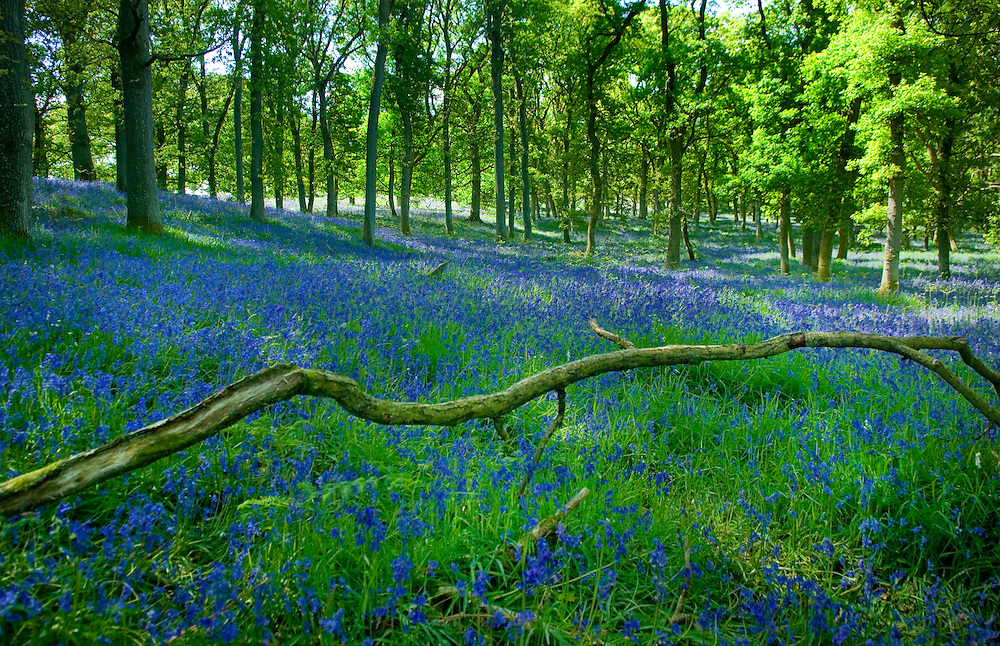 Spring Scottish Bluebells in woodlands Perthshire, Scotland