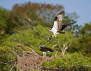 A male osprey brings his mate the goods to build a strong nest.<br /> Blue Cypress Lake, FL