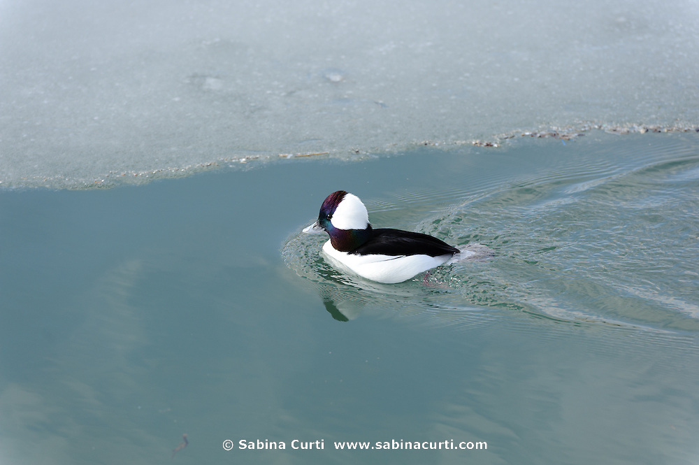 Bufflehead duck, Humber Bay Park