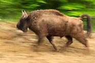 Bison release, Romania