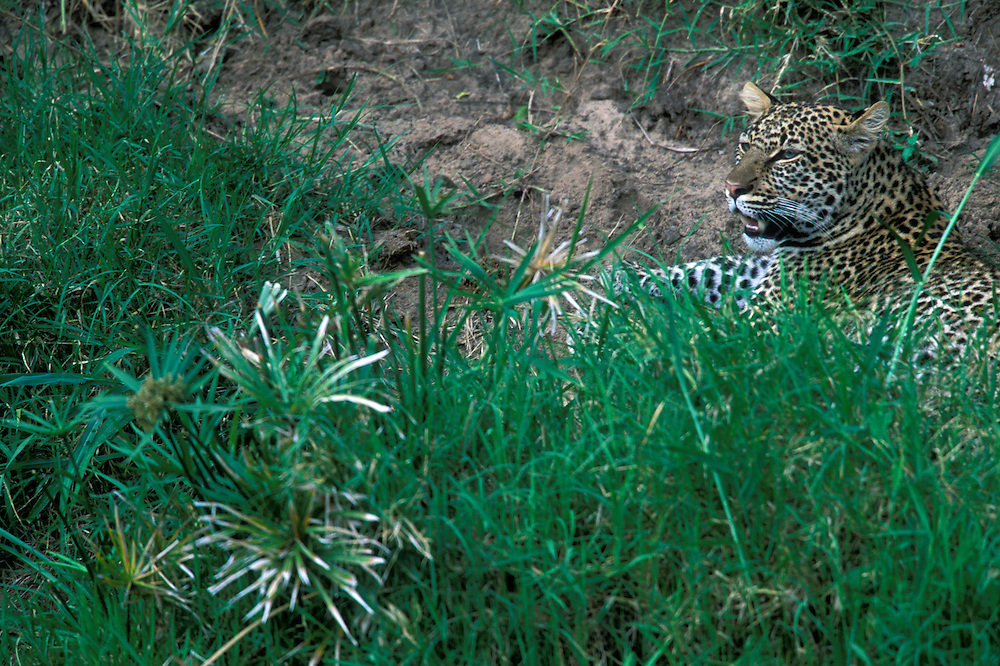 Africa, Kenya, Masai Mara Game Reserve, Leopard (Panthera pardus) sitting in green grass along banks of Telek River