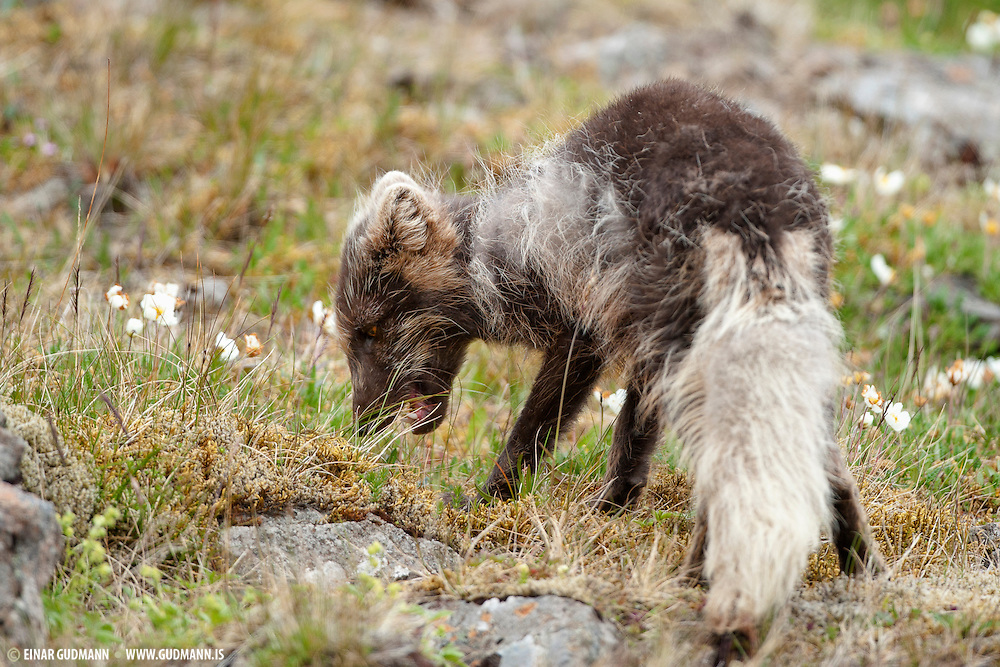 Arctic fox in the eastern part of Iceland.